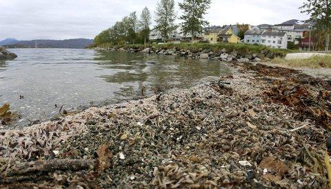 KREPS: Krill er et krepsdyr. Massedød forkommer tidvis. Slik så det ut ved småbåthavna i Narvik høsten 2015.