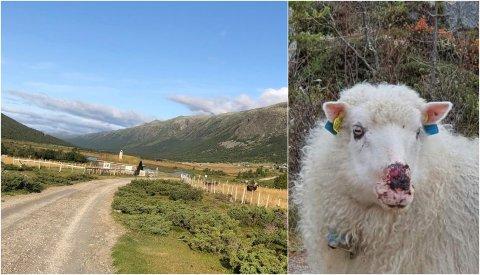 Det var på en seter i Finndalen at en elghund gikk til angrep på inngjerdete sauer. Sauen på bildet er fra samme besetning, men var ikke inne i gjerdet. Det er ikke bekreftet hvilket dyr som har bitt den.