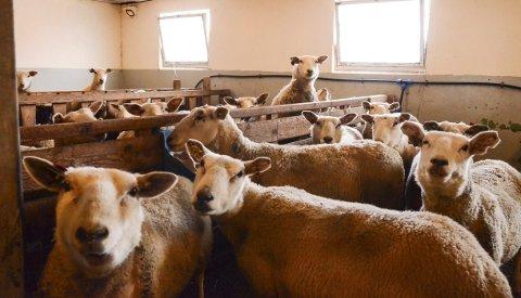 Travle tider: Desse sauene går travel tid med lembing i møte. Også dei ansvarlege i kommunane for dyrehelse- og velferd har nok å gjera for å løysa veterinære forpliktingar.