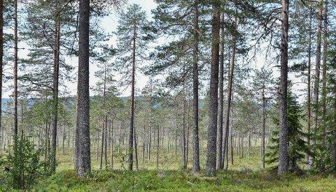 NYTT SKOGSALG: Flere var interessert i skogteigen, og to ble med i budrunden. Illustrasjonsfoto: Nils Henning Vespestad
