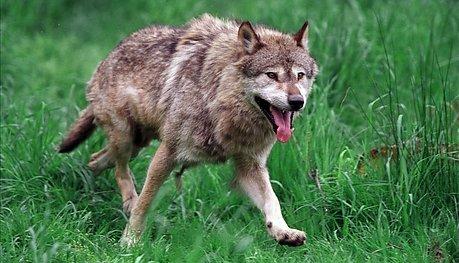 ULV? En leser lurer på om det var ulv hun så mellom Viul og Eggemoen. Illustrasjonsfoto: Colourbox