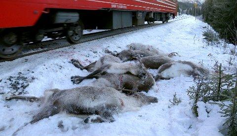 Mosjøen  20171126. Et tog passerer døde reinsdyr som ligger ved siden av jernbanesporet ved Kvalforsbrua mellom Eiterstrøm og Mosjøen på Helgeland. Over hundre reinsdyr i området er påkjørt og drept av toget de siste dagene.