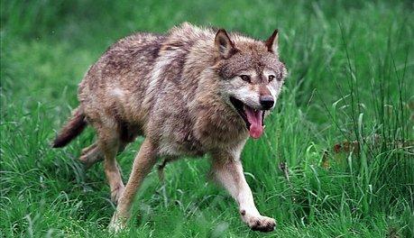 VIKTIG: Ulven som tok flere lam i Gran tidligere i vår og i Jevnaker 31. mai og 1. juni i år er genetisk viktig for den skandinaviske ulvestammen. Ulven på bildet er ikke identisk med ulven i Nordmarka. Illustrasjonsfoto: Colourbox