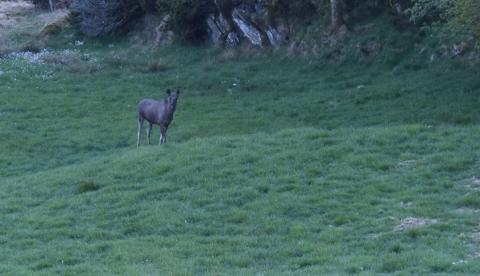 ELG I HAGEN: Runi Susann Wigg fikk seg en overraskelse da hun oppdaget en elg i hagen sin i Tittelnesvegen. - Det var ikke akkurat det jeg forventet, sier hun.