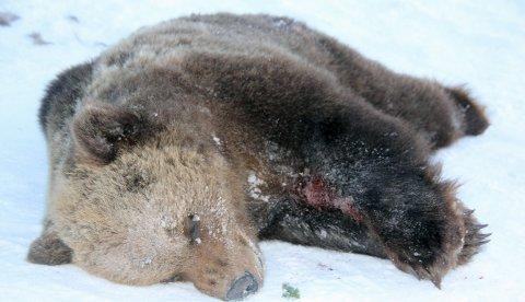 Bjørnskutt: Bjørn drepte en sau forrige lørdag i Hattfjelldal. Denne ble skutti Hattfjelldal i 2012. aRKIVFOTO
