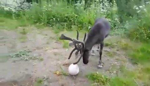 RE(I)N TEKNIKK: Her leker reinsdyret seg med ballen på lekeplassen i Kaldfjorden.