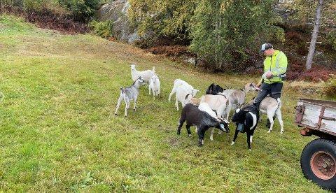 UTLEIGE: Tommy Steine leiger ut geitene sine som beitepussarar.