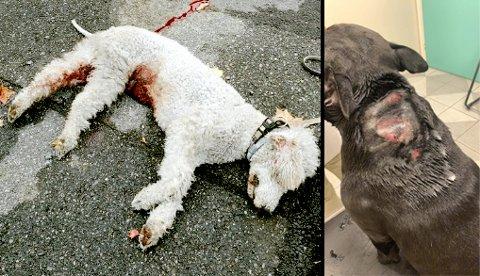 """DREPT OG SKADET: Hunden """"Alvin"""" (t.h) måtte bøte med livet i forrige uke. Hunden """"Diesel"""" slapp unna med et stygt bitt i februar, men noen dager senere drepte den nabohunden."""