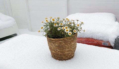 Sommerblomster: Dette er ikke den rette omgivelsen for slike planter. Blir de ikke dekket til eller tatt inn, vil de dø.