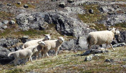 UTRYGG TID: Det er funnet rester av døde sauer som er tatt av jerv i Reinheimen og Rondane.