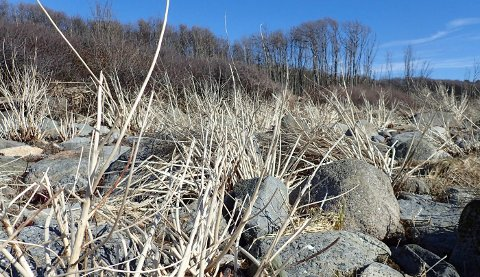 Strandvortemelk med nygrodde skudd som ser ut som asparges. Men ikke spis dem! De er fulle av hvit melkesaft og smaker neppe godt. Plantene vokser tett langs strendene innafor Saltstein og danner rene kratt som når oss til livet. Nå på våren står fjorårets visne planter med stive bleke stengler, og det er nok mange som lurer på hva dette er. Hvis du roter litt nede ved røttene ser du at årets skudd er på vei.
