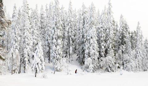 I 2020 skal Miljødirektoratet bruke droner for å se om det blir planet ulovlige utenlandske treslag i norsk skog- og juletreproduksjon. Her fra Lillomarka i Oslo. Foto: Vidar Ruud / NTB scanpix