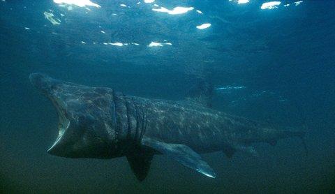 STOR: Dersom du ser ei stor ryggfinne bryte havflata, har du kanskje sett brugde.
