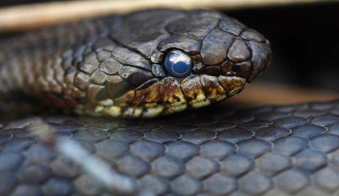 BLÅTT ØYE: Slettsnoken har rund pupill og blå øyne. Slangen var lite sky. (Foto: Øivind Lågbu)