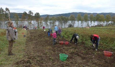PÅ JORDET: Potetopptaking i Hadeland andelslandbruk.