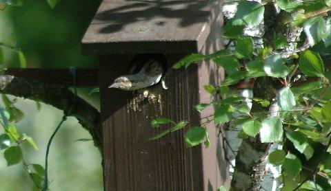 Vendehalsen ligner ikke mye på de andre spettefuglene. FOTO: OLAV SÅTVEDT