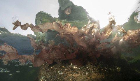 SPESIELT FUNN: Den store røde makroalgen er trolig arten djevletunge (Grateloupia turuturu).