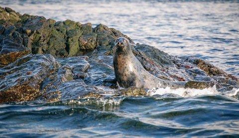 FLERE SEL: Havforskningsinstituttet melder om en solid økning av sel i Vestfold de seneste årene.