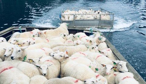 PÅ BÅTTUR: Når sauene skal hjem fra Førre innerst i Jøsenfjorden, er det båttur som er løsningen.