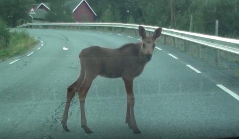 Elgkalven blir stående lenge foran bilen. Se video nederst i saken.