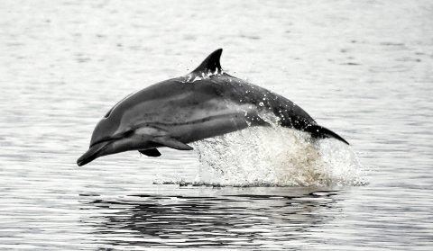 HAR FÅTT NAVN: Iddefin er navnet på delfinen som har svømt rundt i Iddefjorden siden slutten av oktober.