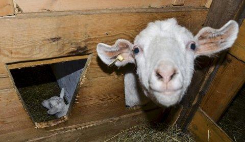 Endring?  Dyr har krav på tilgang til veterinær hjelp både i og utanom ordinær arbeidstid. Husdyrbrukarane har ikkje gitt besyv i saka. No skal politikarane seia om dei er samde med administrasjonen eller ikkje. Illustrasjonsfoto: Mette Bleken