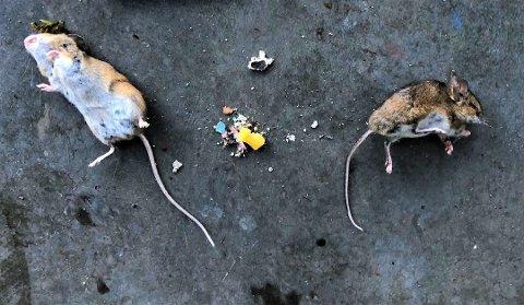 MUSEÅR: Et museår betyr bare at det er et år med mer mus. Hvorfor det skjer, vet man ikke sikkert. Disse eksemplarene måtte takke for seg etter å ha smakt på ost i en felle.
