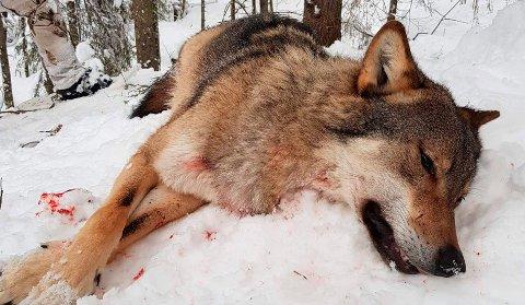 ULV: Hanndyret på 47 kilo ble felt sør for Svene lørdag ettermiddag.