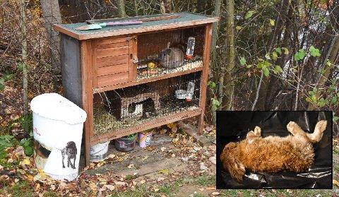 FUNNET DØDE: To ganger på en drøy uke er kaninburet i en hage åpnet og de to kaninene som bodde der er begge blitt funnet drept. Det er gitterdøren i den nedre del av buret som er åpnet. Politiet mener det er dyr som har vært på ferde.