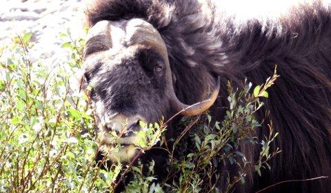 FOR MANGE: Moskusbestanden skal reduseres med 20 dyr fram til mars neste år.