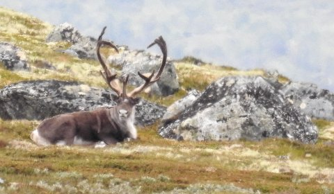 Høyre-lederen i Nord-Fron vil ha slutt på ordinære villreinjakt i Rondane.