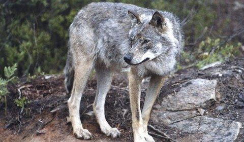 Ukjent antall: Hvor mange ulver det er i Norge har det vært høylytte diskusjoner om den siste tiden. Ingen sitter med fasiten. Lokalt er det observert flere ulver den siste tiden.