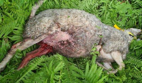 SAU: Flere titalls sauer er drept av bjørn denne sommeren.