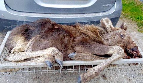 UTSATT: Sørgelig sorti for elgkalven, som viste seg å være angrepet av to sykdommer.