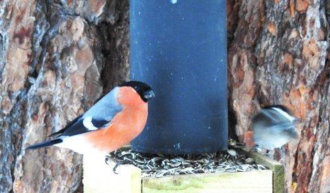 HAGEFUGLTELLING: I løpet av helga som kommer skal den landsomfattende fugltellingen gjennomføres. Oppland topper deltakelsen.