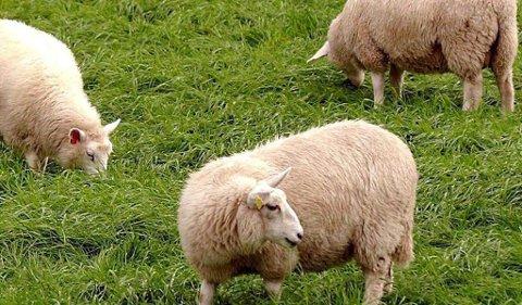 «BEITEPROBLEM»: Reindriftsutøver sier at sauene som kommer med ferga og slippes løs hvor enn bonden vil, utgjør et beiteproblem.