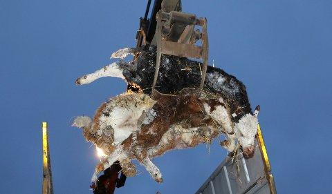 TRAGISK:  Her er to av de fem døde kalvene i Åsnes på veg opp i kadaverbilen.