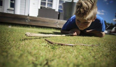 ORMELYKKE: Sivert (10) ville gjerne beholde ormen Gorm i fjor, men vet at ville dyr skal leve fritt, og satte ormen fri etter åtte uker. Lykken var stor da ormen dukket opp igjen. FOTO: MARIANNE ENGER
