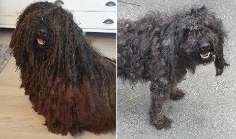FØR OG ETTER: Utstillingshunden Hedda, som er av rasen puli, forsvant på Vinstra i sommer. Da den kom til rette, var pelsen klippet.