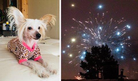VETTSKREMT: Hunden Aurora er en av mange hunder som ble skremt av fyrverkeri og rømte på nyttårsaften.