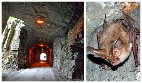 NYTT FØREMÅL: Den nye Blaksettunnelen skal erstatte dei to gamle og utdaterte tunnelane på fylkesvegen. I ein av dei gamle tunnelane kan denne små vinga krabaten få bu.