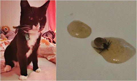 UFLOTT GJEST: Da katten Tarzan kom hjem etter en luftetur i Narvik, hadde han med seg en ubuden gjest. Også i Leirvik og på Vidrek er det funnet flått i sommer.