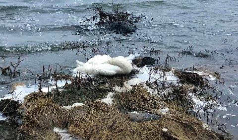 FUGLEINFLUENSA-ALARM: Denne døde svanen fant Knut-André Haugen fra Skjærviken da han gikk tur i helga. Fugletrekket er i full gang og Mattilsynet ber alle om å melde i fra om de finner døde fugler.