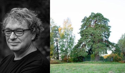 BLE «VENNER»: Ole Mathismoen har skrevet bok  om 33 norske trær. Et av dem er Tokstadfurua i Ringsaker. Den vokser  ved Prestvegen, halvannen kilometer sør for kjøpesenteret på Rudshøgda.
