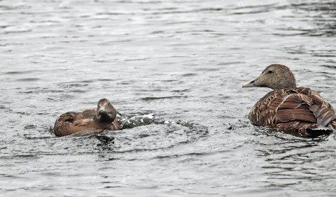 En av de voksne hunnene i flokken nærmer seg ungfuglen som har mistet kontrollen i spasmer.