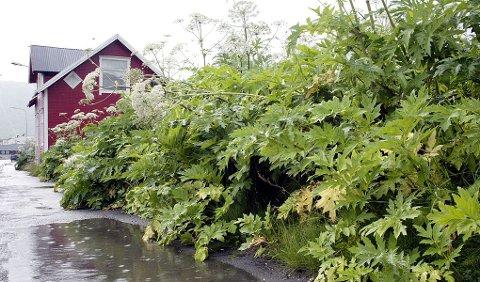 SKAL BEKJEMPES: Tromsøpalmen, her i full blomst, skal bekjempes.