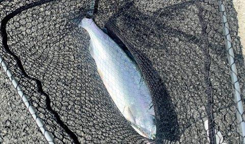 FANGST: Nordlys sendte ut to reportere sist uke for å finne ut hvor enkelt det var å få pukkellaks på kroken. Og jaggu, etter ti minutters fiske ved grustaket i Kattfjorden, lå det en pukkellaks i håven.