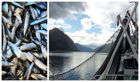 TONNEVIS: Det er høve til å ta opp 500 tonn med brisling frå Sognefjorden denne sesongen.
