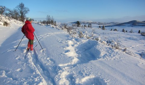 Ved Bergset: Artig å studere liggjeplassen etter elgane som vi skremde opp eit par minutt tidlegare.