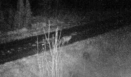 TRUR DET ER TO DYR: Fleire folk trur det kan vere to ulvar i gamle Sogn og Fjordane, og at eit av dei held til i Sande-området. Dette dyret blei fange på viltkamera 26.oktober seint om kvelden på Sande.